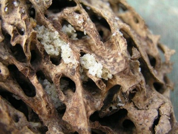 how long do termite eggs live