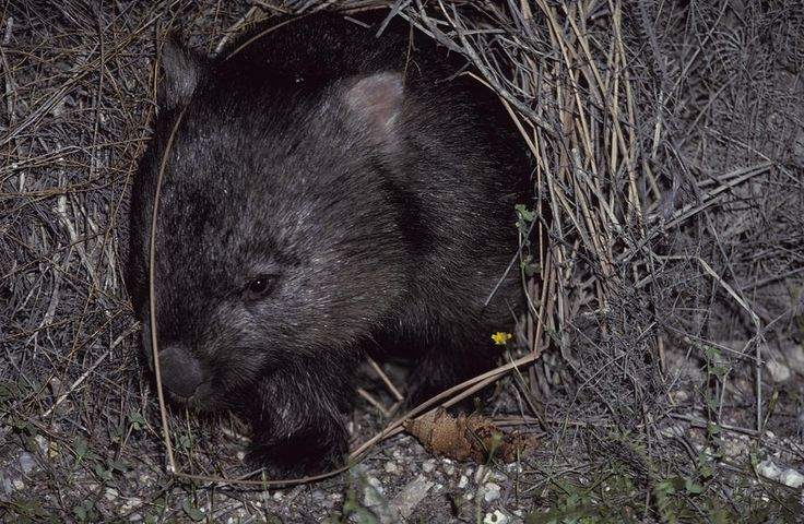 A Common Wombat Leaving Its Burrow Photograph