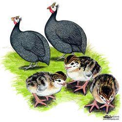Pearl Guinea Fowl Keats  #pearlguineafowlkeats #pearlguineafowl #guineafowl #guineafowlforsale