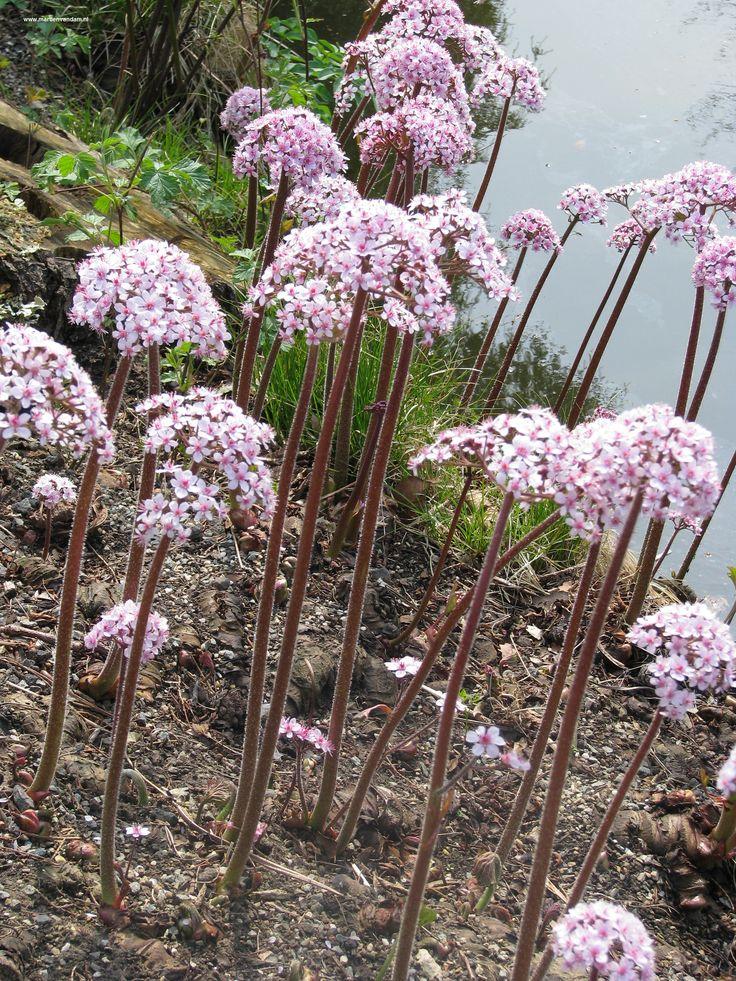 Darmera Peltata, een vaste plant die graag aan de waterkant staat begint het jaarlijkse groeiseizoen met bloemen op lange stelen: april - mei, pas daarna komt het decoratieve blad tevoorschijn.