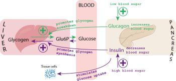 Understanding What Is Blood Sugar