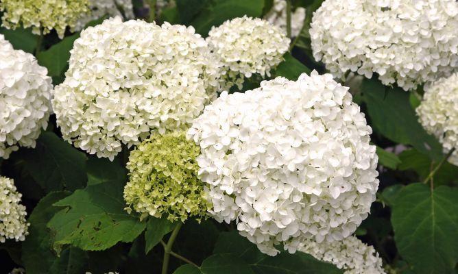 La hortensia es una planta acidófila que necesita un sustrato ácido para desarrollarse y florecer adecuadamente.Además, es una planta que no soportan el sol, necesitan temperaturas