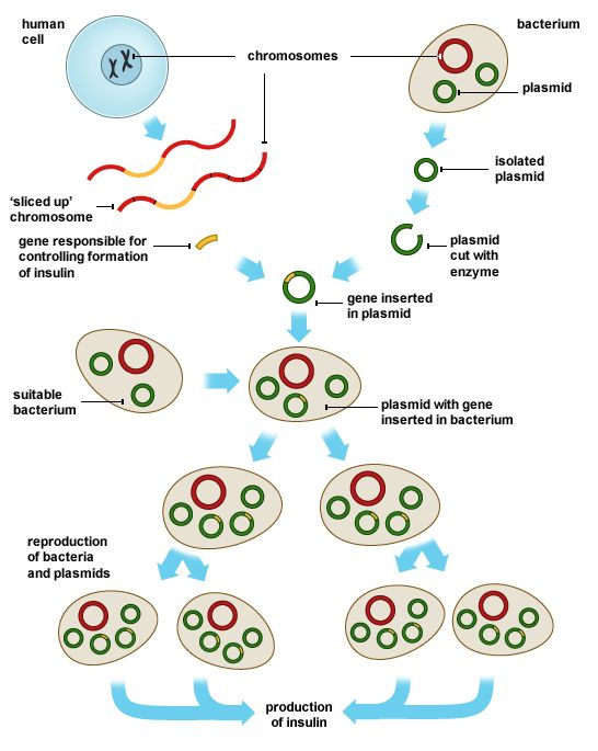 Process of genetic engineering involving insertion of 'sliced up' chromosome into bacterial plasmid.