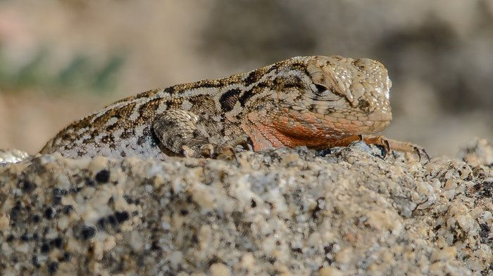 Nap Time! by Wayne Wong on Capture Kern County // While we were shooting the hillside of lupine, I noticed this poikilothermic lizard on a rock very close by, taking in the warmth of the sun.  I was able to get in close and capture it;  it took quite a crop even so.  The fill flash helped minimize any movement, which was negligible to the homeotherm at the controls of the camera.
