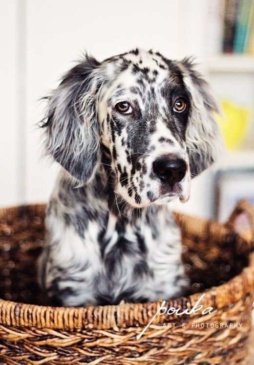 English Setter Puppy..Looks a little like my springer spaniel puppy