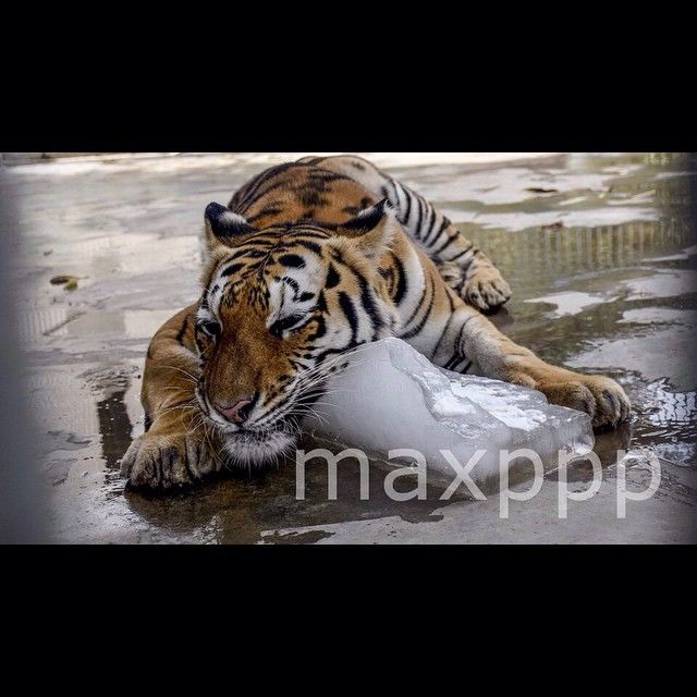 ©SHAHZAIB AKBER/EPA/MAXPPP -  epa04816625 A Tiger cools off to beat the heat by embracing a large lump of ice  at the Karachi Zoo, in Karachi, Pakistan, 24 June 2015.  #photo #photos #pic #pics #picture #pictures #snapshot #art #beautiful #instagood #picoftheday #photooftheday #color #all_shots  #composition #capture #moment #photographie #photography #photojournalisme #photojournalism #animal #tigre