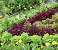 Выращивание салата: сорта, рассада, посадка и уход