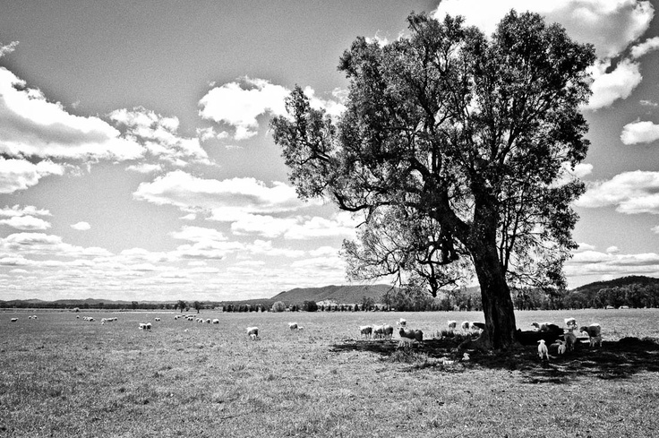 """#Sheep country in #Mudgee, NSW, Australia. Mudgee means """"nest in the hills""""."""