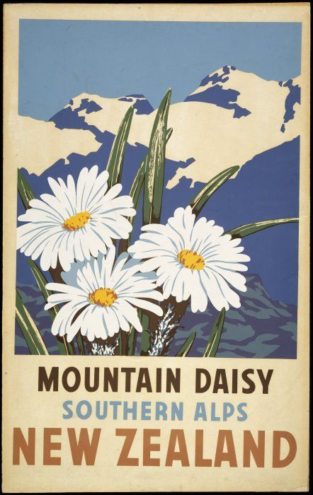 Artist unknown :Mountain daisy, Southern Alps, New Zealand. [ca 1950]