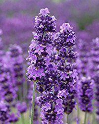 "This post is for Kim, aka Black Swamp Girl, blogging @ ""A Study in Contrasts"" who, by the way, has some of the loveliest photography- I am green with envy over that! Not so good way to be green;). She indicated an interest in the how-to of making starts of lavender. There is the ""best …"