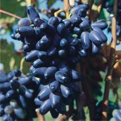 Winorośl Nadieżda Azos