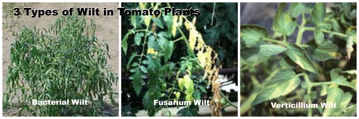 3 kinds of tomato wilt and how to tell them apart. Learn more about tomato diseases: http://www.tomatodirt.com/tomato-diseases.html