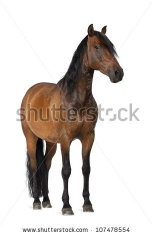 Mixed breed of Spanish and Arabian horse, 8 years old, portrait standing against white background - stock photo
