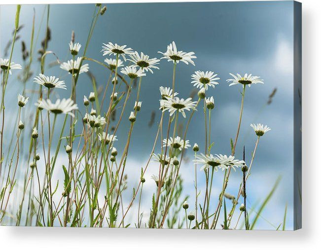 Reach the sun by Svetlana Iso.     Summer day after rain. Beautiful white daisies in wind. Looking through flowers into dark blue sky with clouds from the below up. Concept of seasons, ecology, green planet  #SvetlanaIso #SvetlanaIsoFineArtPhotography #Photography #ArtForHome #InteriorDesign #FineArtPrints #Home #Gift #Color #Daisies #Chamomiles #Summer
