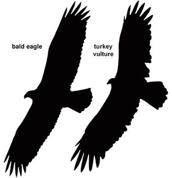 Bald Eagle Viewing Directory - American Bald Eagle Information