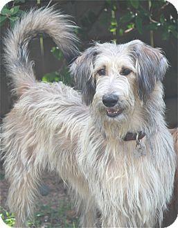 Irish Wolfhound/Collie Mix Dog for adoption in Rowayton, Connecticut - Teddy