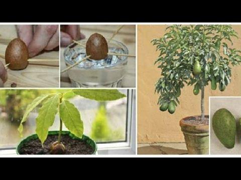 Deja De Comprar Aguacates… ¡Mira Cómo Puedes Cultivarlos En Una Maceta En Tu Casa Y Tener Montones - YouTube