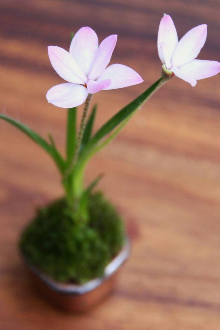 アッツ桜 苔盆栽