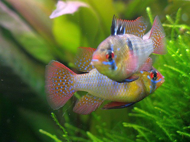 Einzigartig Die besten 25+ Aquarium barsche Ideen nur auf Pinterest | Cichlid  DU72