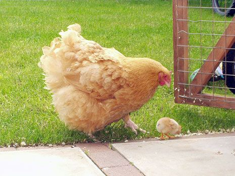 Awesome Buff Orpington hen and chick