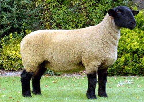 rblvet - cuidando do futuro de grandes campeões - Principais raças de ovinos
