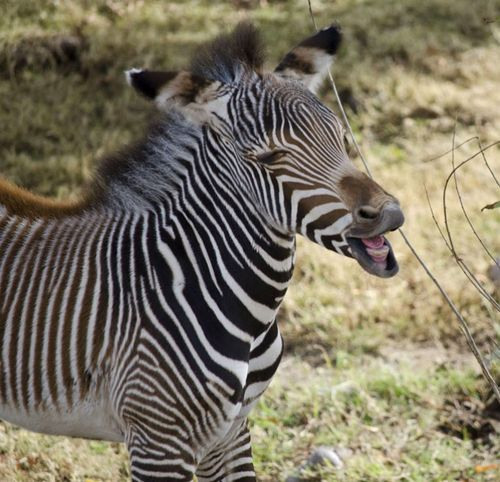 Zebra laugh - photo from the Phoenix Zoo, Arizona;  The newest Grevy's Zebra weighed in at an even 100 pounds.