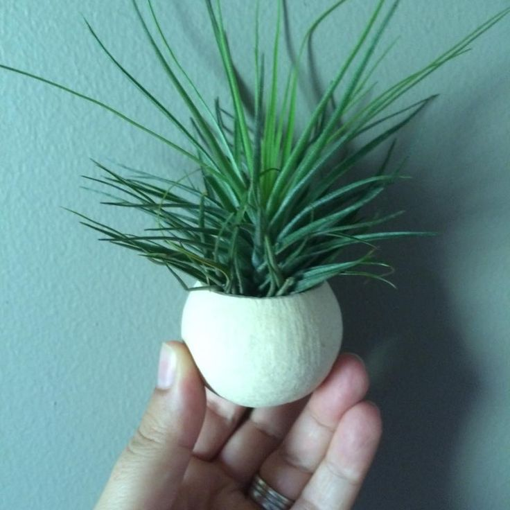 Natural Flower Nut Pod with Stricta #airplants #tillandsia #planters #airplantdesigns