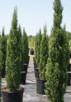 italian cypress: Planted where tall specimens are needed.  Modern, yet classic.  Pots, planters specimens.