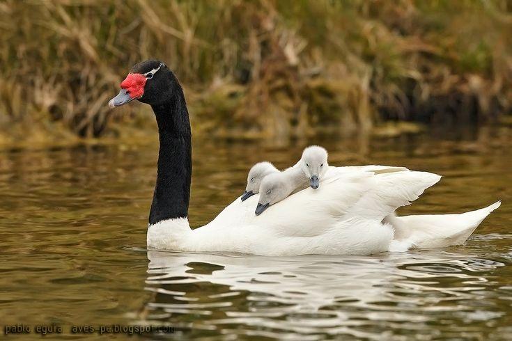 mis fotos de aves: Cisne cuello negro [Cygnus melancoryphus] Black-ne...