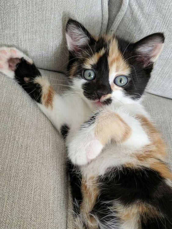 Hermoso gatito calico 💗