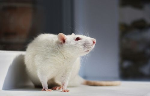 Quand il s'agit d'aider son prochain, les rats ne quittent pas le navire. Par simple empathie, un rat délivre son congénère de la cage dans laquelle il est enfermé, jusqu'à préférer partager du...
