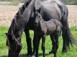 Risultati immagini per cavalli frisoni puledri