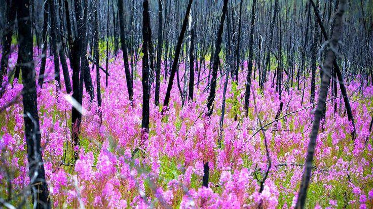 Fireweed, or rosebay willowherb epilobium angustifolium after a forest fire, Yukon