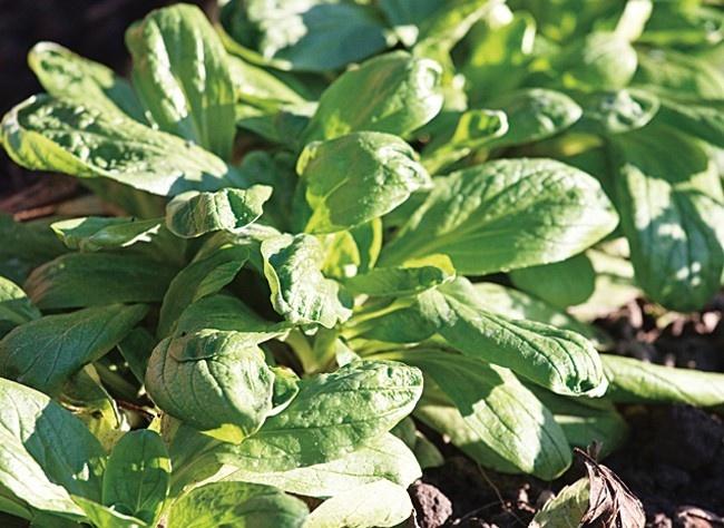 www.rustica.fr - Quand semer les légumes de l'automne et de l'hiver