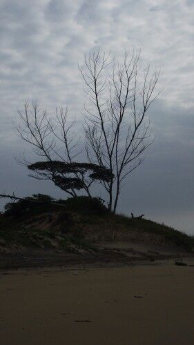 Dried up trees on dune