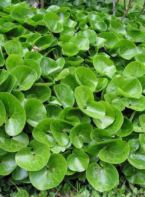 Asarum eurpoaeumHasselurtAristolochiaceae Holurtfamilien STAUDE Grønn