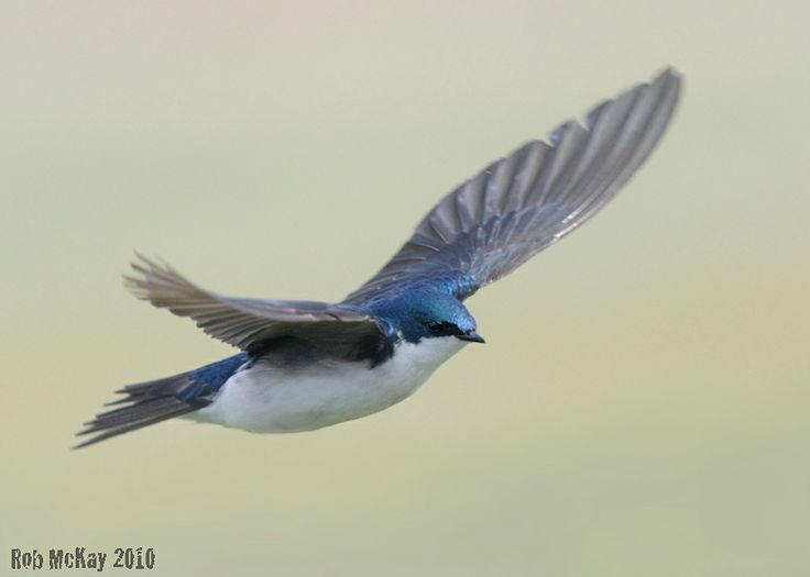 swallow bird | Tree Swallows In-Flight Photos