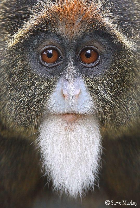 De Brazza's monkey by Steve Mackay