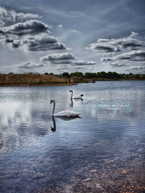 Swans and Lake...But not quite Swan Lake... Taken at Stanwick Lakes, Northamptonshire, UK. Part of Panoramic Collection.