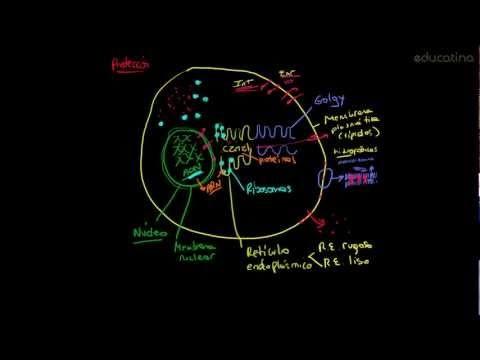 Estructura de las células eucariotas - http://www.educatina.com/biologia/estructura-de-las-celulas-eucariotas