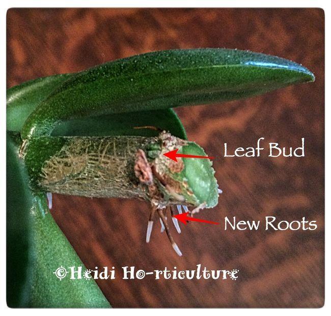 How To Prune Jade Plants To Make More Jade Plants Jade Plants Plants Succulents Garden