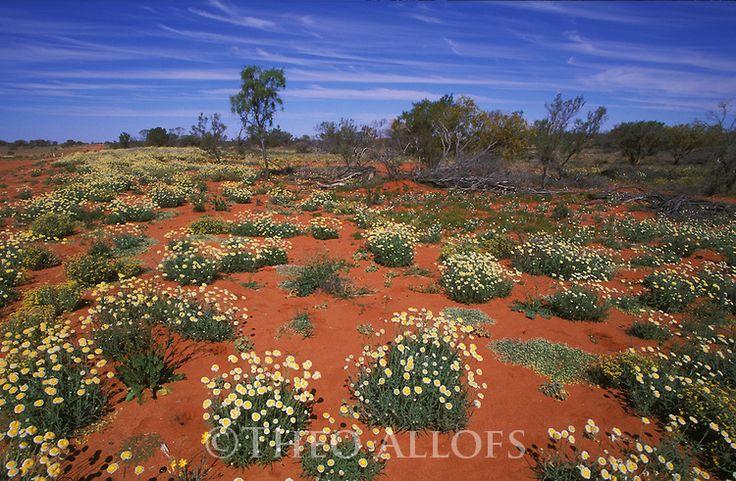 Australia, NSW, Sturt Desert; Wildflowers on red desert sand a few weeks after heavy rains