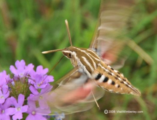 The Hummingbird Moth, Hemaris thysbe, the Little Bug Who Looks Like A Bird - Animals and Wildlife in Wimberley and the Central Texas Hill Country, Stories, Articles and Facts