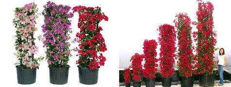 Bougainvillea Trellis - How to Create Your Own - DIY