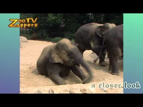 """Aziatische olifant - Elephas maximus - Asian or Asiatic Elephant - asiatiske elefant - indisk elefant - Asiatische Elefant - Indischer Elefant - elefante asiático - L'éléphant d'Asie - Słoń indyjski - elefante-asiático    Music title: breaktime BY Kevin MacLeod www.incompetech.com  licensed under Creative Commons """"Attribution 3.0"""" ©"""