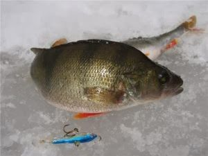 Рыбалка видео: Ловля окуня в декабре