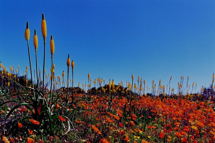 Spring flowers: Kamieskroon, Namaqualand, South Africa