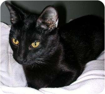 Pictures of ALFIE a Domestic Shorthair for adoption in Dallas, TX who needs a…