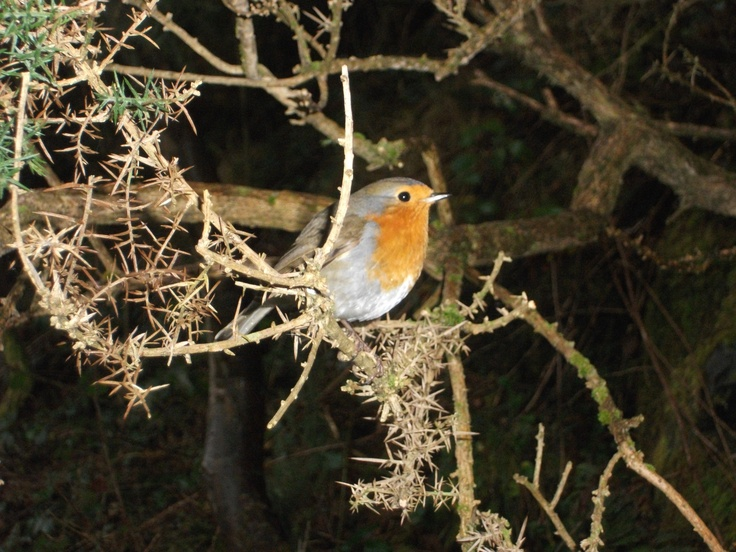 When a robin red breast constantly visits you or crosses your path; a loved one in heaven is trying to say 'Hello! I'm with you!' x