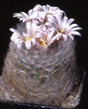 Mammillaria aureilanata var. alba Esposizione al sole. Vasi profondi. Annaffiare da aprile a settembre ogni 8-10 giorni. Ghiaietto in superficie per la protezione del colletto. Temperatura minima invernale: +5 gradi centigradi.